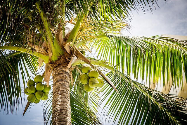 Abnehmen mit Kokosöl - Kokospalme