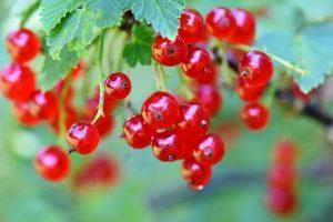 Low Sugar Diät - rote Johannisbeeren